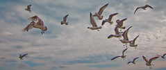 Les Mouettes (Ant1_G) Tags: ocean sky usa nature birds movement florida action flock group flight atlantic inlet fl mouette seaguls fortpierce