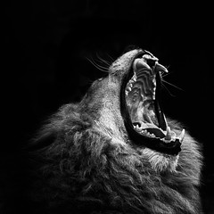 ROOOAAAAAAAAAAAAARRRRRRR... (chmeermann) Tags: portrait bw zoo blackwhite jaw teeth lion yawn sw schwarzweiss gelsenkirchen maul zoomerlebniswelt portrat flickraward lowe zahne gahnen
