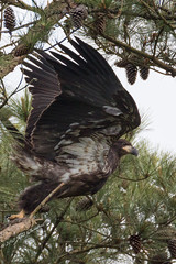 Leap of Faith (Jens Lambert Photography) Tags: wild tree pine forest canon flying al nest eagle dam wildlife alabama flight bald feather stretch jens american raptor 5d lambert predator tva f4 eaglet mkiii guntersville eaglets 600mm jlphotography digiartpics