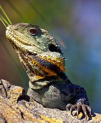 Dragons Lair: (AutisticReaction) Tags: colour pentax reptile lizard botanicalgardens waterdragon 2012 k7 sigma50500mm yearofthewaterdragon