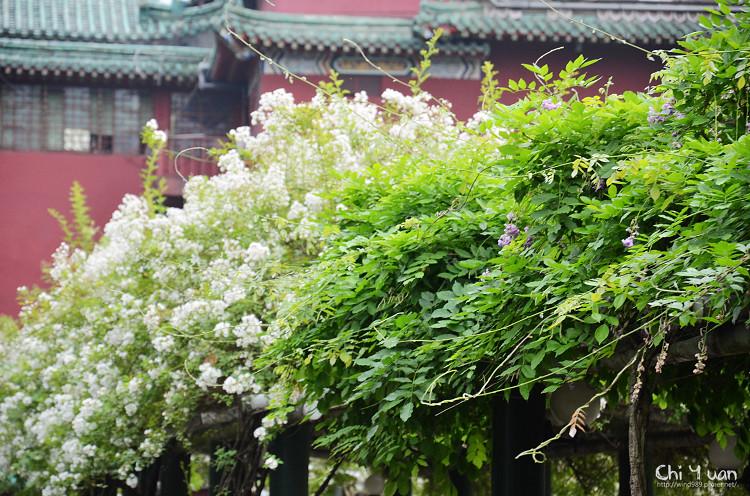 植物園野薔薇03.jpg