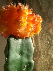orange cactus (StonedOgraphy) Tags: plants nature cacti graft orangecactus