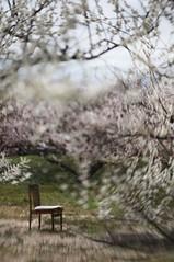musical chairs (Cory.Lum) Tags: lensbaby ume hanami astigmatism umeblossoms