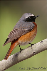 Common Redstart- (Sameh Odeh) Tags: birds canon east jordan syria phoenicurus middle common qatar odeh  sameh redstart 800mm         qatarbirds
