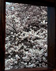 (satoru-hori) Tags: color spring 8x10 sakura gifu