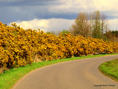 Broom Hedge (B4bees .(2m views)) Tags: road grass scotland countryside hill perthshire hedge backroad bushes broom verge dron balmannohill