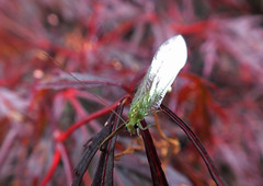Green Lacewing (rowanlea51) Tags: