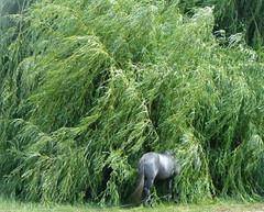 Cavalo  sombra (Amrico Meira) Tags: shadow horse tree verde green portugal arbol caballo vert nan arbre rvore cavalo choro vento chaval vilarformoso challengeyouwinner duetos nanaturezainnature