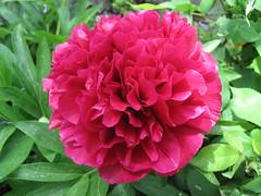 Blooming / Floreciendo (SamwiseGamgee69) Tags: flowers red plants plant flores flower planta rojo plantas flor peony roja camarzanadetera peona
