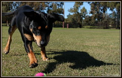 Boondie. (G I Jodes) Tags: dog outdoors day rottweiller
