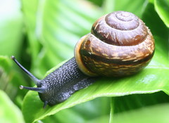 snail in motion , explored! ( #496 ) (bugman11) Tags: macro nature animal animals fauna canon nederland thenetherlands snail snails autofocus thegalaxy flickraward 100mm28lmacro ringexcellence