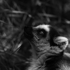 "Ring-tailed lemur • <a style=""font-size:0.8em;"" href=""http://www.flickr.com/photos/62284930@N02/7605204786/"" target=""_blank"">View on Flickr</a>"