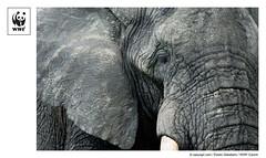 WWF-Canon Pic of the Week #23 - African Elephant (WWF - Global Photo Network) Tags: elephant tanzania wwf africanelephant