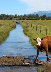 bessie (Karol Franks) Tags: family summer usa lake field creek cow town crossing path country meadow farmland idaho 4thofjuly barbedwirefence irrigation 2012 mccall cantrell brownandwhite karolfranks 2014 karolfranksgmailcom