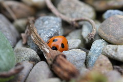 trying to blend in? (wynpembs) Tags: orange macro nature closeup wales canon insect stones spots ladybird ladybug pembrokeshire fishguard canonef100mmf28usm canon600d