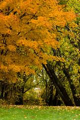 (Sous l'Oeil de Sylvie) Tags: park orange canada fall yellow jaune automne october qubec mapleleaf mapletree parc rable octobre 2012 tamron90mm k30 feuillesdrable notredamedespins sousloeildesylvie