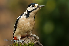 Great Spotted Woodpecker (Novisteel) Tags: autumn birds flickr seasons wildlife places hampshire greatspottedwoodpecker fsg ngdphotos