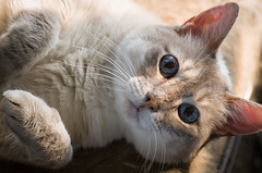Sugar taking a sun bath (Apogee Photography) Tags: portrait pet cats pets cat kitty gatos sugar gato kitties 105mm