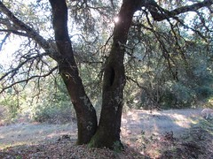 Twin Trees (comma?) Tags: california green leaves foliage yellowlabrador californiahills morninghike californiaautumn californiamountains mountainhiking