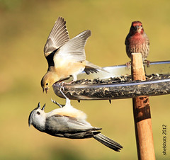 Don't Fight, Boys! (shelshots) Tags: nature birds fight feeder housefinch avian americangoldfinch tuftedtitmouse carduelistristis compete carpodacusmexicanus parusbicolor greatphotographers thegalaxy slbfighting mygearandme