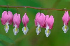 Bleeding Heart (to the dream) Tags: explore 70200mmf28 d800e