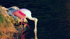 Roseate Spoonbill (Jim Mullhaupt) Tags: pink red lake bird yellow pond flickr florida bradenton freshwater spoonbill roseatespoonbill wader mullhaupt jimmullhaupt