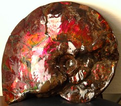 """Ammonite Fossil """"Placenticeras Meeki"""" from Canada.  Iridescent Ammolite covers the fossilized shell. 10.5 """" (26.7cm) (lhboudreau) Tags: shells canada rock fossil colorful shell canadian mineral ammonite iridescent iridescence gem ammonites specimen fossils marinelife cephalopod specimens fossilized cretaceous cephalopods ammolite meeki cretaceousperiod fossilizedshell placenticeras placenticerasmeeki"""