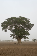 Big tree in a field, Kembata, Alaba kuito, Ethiopia (Eric Lafforgue) Tags: africa trees plant color tree nature beautiful field vertical landscape mammal outdoors countryside cow scenery quiet natural outdoor scenic environmental peaceful dry tribal calm land environment daytime copyspace agriculture ethiopia desolate tranquil cultivation settlement hornofafrica eastafrica thiopien etiopia abyssinia ethiopie etiopa ruralscene fulllenght  etiopija ethiopi alaba  etiopien etipia  etiyopya     kembata      alabakuito ethio162702