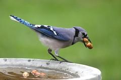 TALENTED OR GREEDY (smittyguy) Tags: funny comedy humor peanuts bluejay birdwatching washingnuts