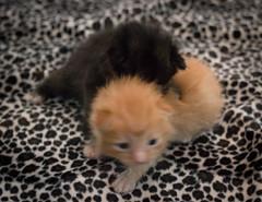 IMG_9468 (jaglazier) Tags: usa cats playing cute animals babies unitedstates tiger may indiana kittens siblings bloomington mammals blackie 2016 52416 copyright2016jamesaglazierandjamesaferguson