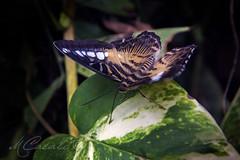 Tigersome (mariachiara.casali) Tags: nature beauty butterfly centro arc di campo variety morpho albero animale farfalla insetto padova pianta terme farfalle allaperto profondit abano montegrotto
