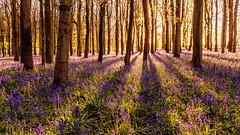 Dockey Woods Bluebells (richjjones) Tags: trees light sunset shadow nature bluebells woodland woods nikon pano nationaltrust ashridge dockeywoods