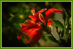 jlvill 380 (jlvill) Tags: naturaleza flores flora plantas verdes magiccity rojos 1001nightsmagiccity