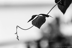 Balancing act (Kumaravel) Tags: bw india nature closeup garden blackwhite leaf nikon dof bokeh crop creeper chennai kumar kumaravel d3100