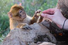 Little monkey 1 (ImageGraph-Y) Tags: animal animals monkey waterfall morocco marokko aap ouzoud aapje d3300