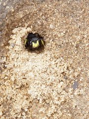 Cercercis rybensis (Crabronidae) - Bienenjagende Knotenwespe (gbohne) Tags: canon insect al insects insekt arthropods arthropoda insekten hymenoptera insecta apocrita hautflügler geo:country=germany taxonomy:family=crabronidae taxonomy:phylum=arthropoda taxonomy:order=hymenoptera taxonomy:suborder=apocrita taxonomy:superfamily=apoidea grabwespen taxonomy:subphylum=hexapoda taxonomy:genus=cerceris geo:region=europe knotenwespe taxonomy:tribus=cercerini taxonoma:binomial=cercerisrybyensis taxonomy:family=philanthinae
