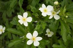 Smooth Wild Rose (Tim Stinger) Tags: wild plants rose flora smooth wildrose stinger mortonarboretum smoothwildrose timstinger smoothwild