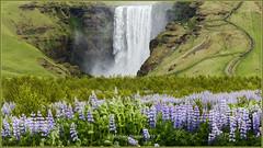 Skogfoss Behind Field of Lupins (mikesa10) Tags: mist outdoors waterfall iceland wildflowers lupins skogafoss skogar canon6d iceland2016
