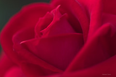 Rose Osaka   (^^Teraon) Tags: park parque plant flower macro green nature rose japan canon garden eos bokeh flor rosa petal osaka m2   nakanosima tamronspaf90mmf28di   roseosaka eosm2