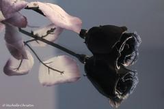 Black Rose (Michelle Christin) Tags: black macro rose mirror d spiegel mystik makro schwarz 60 mystisch 60d mystikrose