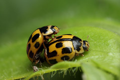 More 14-spot ladybirds mating (Lord V) Tags: macro bug insect ladybird mating 14spot