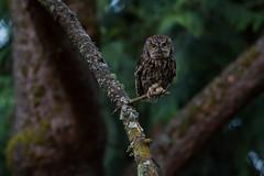 Western Screech Owl in theDark (OwlPurist) Tags: westernscreechowllowlight night portland oregon megascopskennicottii