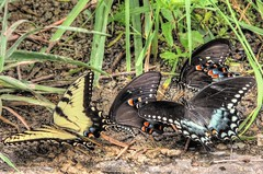 The Gathering (clarkcg photography) Tags: butterfly cool drink insects soil hdr damp easterntigerswallowtail blackswallowtail heatofday