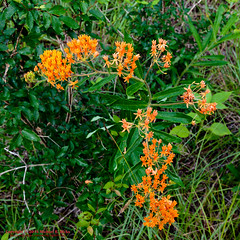 Butterfly Weed (mikerhicks) Tags: usa nature geotagged outdoors photography spring unitedstates hiking tennessee wildflowers hermitage flowersplants butterflyweed tennesseestateparks geo:country=unitedstates couchville camera:make=canon exif:make=canon geo:state=tennessee exif:focallength=20mm exif:aperture=63 geo:city=hermitage exif:lens=1835mm exif:isospeed=200 couchvillecedargladesna canoneos7dmkii camera:model=canoneos7dmarkii exif:model=canoneos7dmarkii geo:lon=8653013500 sigma1835f18dchsma geo:location=couchville geo:lat=3610154000 geo:lat=3610154 geo:lon=86530135 tylersykestrail