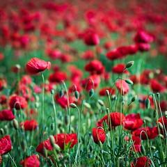 Bulke (Oroku1) Tags: windows red cloud color field landscape outdoor wheat serbia poppy colourful common opium papaver vojvodina srbija rhoeas polje njiva ito bulke
