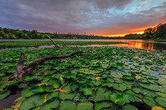 Lily Pads (erwin.delfin_photography) Tags: deerlake sunset lily vancouver burnabytourist burnaby landscapes reflections waterscapes fierysky canoncanada