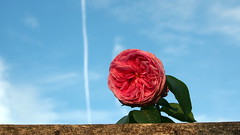 Reaching for the sky (badhands13) Tags: pink summer sky rose contrail gertrudejekyll climbingrose