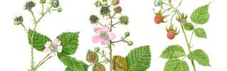 Rubus caesius, Rubus ulmifolius, Rubus Idaeus.