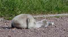 Ich bin platt ... (Harald52) Tags: tiere natur vgel schwan