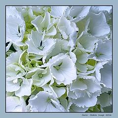 Hydrangea (cienne45) Tags: flowers cienne45 carlonatale fiore natale ortensia